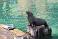 Cape fur seal the juvenile of on the rock Royalty Free Stock Photos