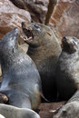 Cape fur seals cape cross namibia arctocephalus pusillus at on the coast of Stock Image