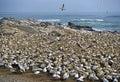 Cape Gannet Colony Stock Photos