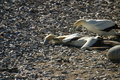 Cape Gannets fighting Royalty Free Stock Photo