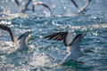 Cape gannets takeoff from water sardine run east london south africa Stock Images