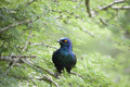 Cape Glossy Starling Royalty Free Stock Images