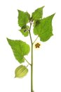 Cape Gooseberry (Physalis peruviana) Royalty Free Stock Images