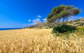 Cape greco view an early summer day at in cyprus with a tree and a wheat field in the foreground and the rocky headland and sea in Stock Image