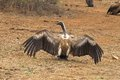 Cape Griffon or Cape Vulture (Gyps coprotheres) Royalty Free Stock Photo