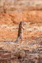 Cape ground squirrel or african ground squirrel xerus inauris south africa sat upright in short vegetation with a blurred natural Stock Photography
