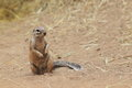 Cape ground squirrel the in the sand Stock Images