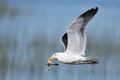 Cape Kelp Gull with a fish Royalty Free Stock Image