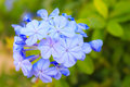 Cape leadwort flower blue plumbago plumbago Stock Photos