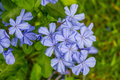 Cape leadwort flower white plumbago plumbago in garden Stock Photo