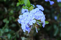 Cape leadwort white plumbago plumbago Stock Photos