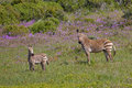 Cape mountain zebra amongst spring flowers mountan adult and foal equus stood in the west coast national park south africa Stock Photography