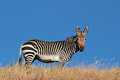 Cape mountain zebra equus against a blue sky south africa Stock Photo
