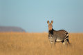 Cape mountain zebra equus national park south africa Royalty Free Stock Images