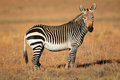 Cape mountain zebra equus national park south africa Stock Photography