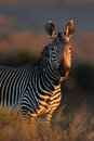 Cape mountain zebra equus national park south africa Royalty Free Stock Photos
