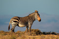 Cape mountain zebra equus national park south africa Stock Images
