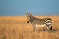 Cape mountain zebra equus national park south africa Royalty Free Stock Photo