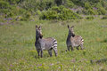 Cape mountain zebra two equus stood alert amongst spring flowers western south africa Stock Photography