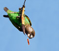 Cape Parrot eating on a dry branch Stock Image