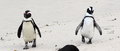 Cape penguin duo park on boulder beach on atlantic ocean south africa funny Royalty Free Stock Photography
