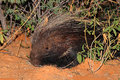 Cape porcupine portrait of a hystrix africaeaustralis south africa Royalty Free Stock Photos