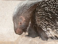 Cape porcupine the or south african hystrix africaeaustralis is native to central and southern africa Stock Images