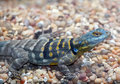 Cape Rock Lizard Stock Images