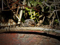 Cape skink a large waiting for prey Royalty Free Stock Images