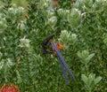Cape Sugar Bird feeding on nectar Royalty Free Stock Photo
