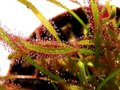 Cape sundew - Drosera capensis Stock Photos