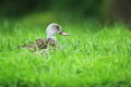 Cape teal lying in the grass Stock Images