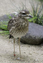 Cape thick knee bird burhinus capensis standing in front of rocks Royalty Free Stock Images