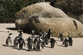 Cape town penguin island in south africa is actually composed of rock and white sand beach penguins have no enemies here safe life Stock Photo