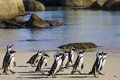 Cape town penguin island in south africa is actually composed of rock and white sand beach penguins have no enemies here safe life Royalty Free Stock Photos