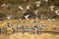 Cape turtle doves at waterhole a flock of drinking and flying in to a in the kalahari desert kgalagadi transfrontier park northern Royalty Free Stock Image