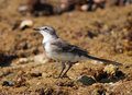 Cape Wagtail from close-up Royalty Free Stock Image