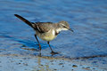 Cape wagtail motacilla capensis foraging in shallow water south africa Stock Photos