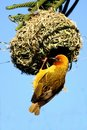 Cape Weaver Male at Nest Royalty Free Stock Photography
