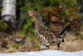 Capercaillie Royalty Free Stock Photo