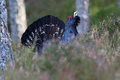 Capercaillie Tetrao urogallus adult male display Stock Photos