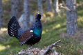 Capercaillie Tetrao urogallus adult male display Stock Photography
