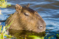 Capivara Royalty Free Stock Photos
