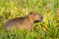 Capivara in the wild hydrochoerus hydrochaeris biggest rodent world Stock Photography