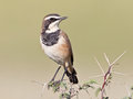 Capped Wheatear Royalty Free Stock Photo