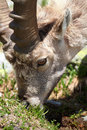 Capra ibex Royalty Free Stock Photos