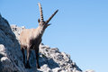 Capra ibex in allgäuer alpen germany Stock Photos