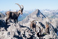 Capra ibex in allgäuer alpen germany Stock Image