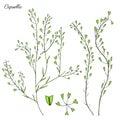 Capsella flower, Shepherd`s purse, Capsella bursa-pastoris, the entire plant, hand drawn graphic vector colorful