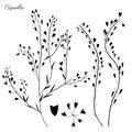 Capsella flower, Shepherd`s purse, Capsella bursa-pastoris, the entire plant, hand drawn vector illustration, doodle ink